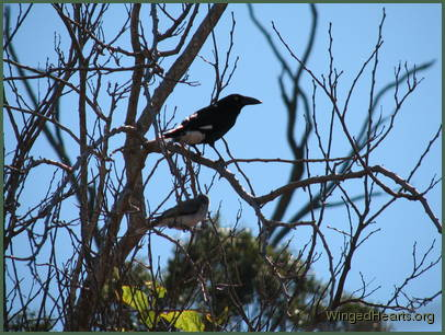 Karitu currawong and young Kerry pied-butcherbird are keeping watch too