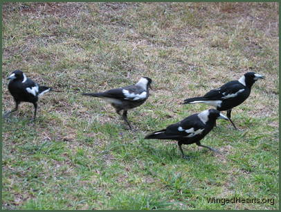 Australian magpie family pottering on the ground