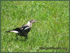 juvenile magpie in a trance -sitting position