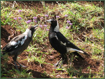 Juvi Wendy magpie with Mum Vicky magpie
