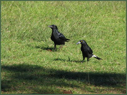 the young crows and currawongs get reacquainted