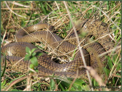 A coiled snake in my path - hard to tell which - maybe an eastern brown
