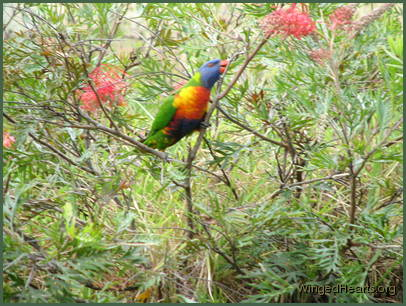 rainbow lorikeet enjoying a grevillea