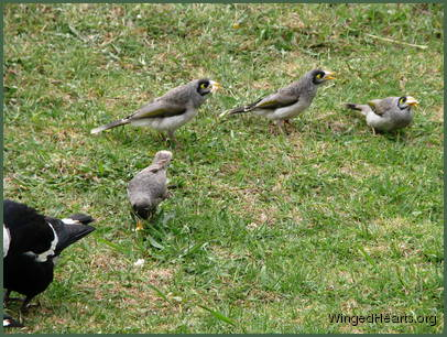and noisy-miner friends with their new chicks