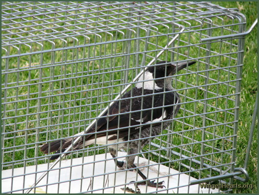 magpies - in cage - needing help