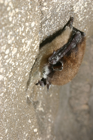 bat with whitenosed disease