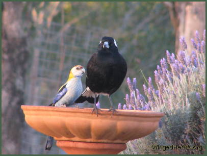 magpie and rosella birds friendship